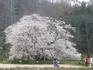 201304桜 015.jpg